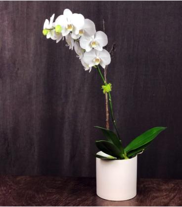 ORCHID PLANT PH1