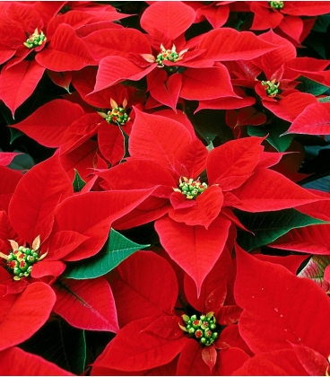 poinsettia christmas n19 - Red Christmas Flowers