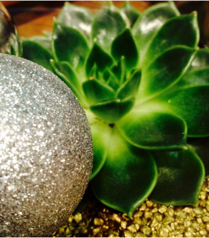 Echeveria plant for christmas for Fleur pas chere a planter