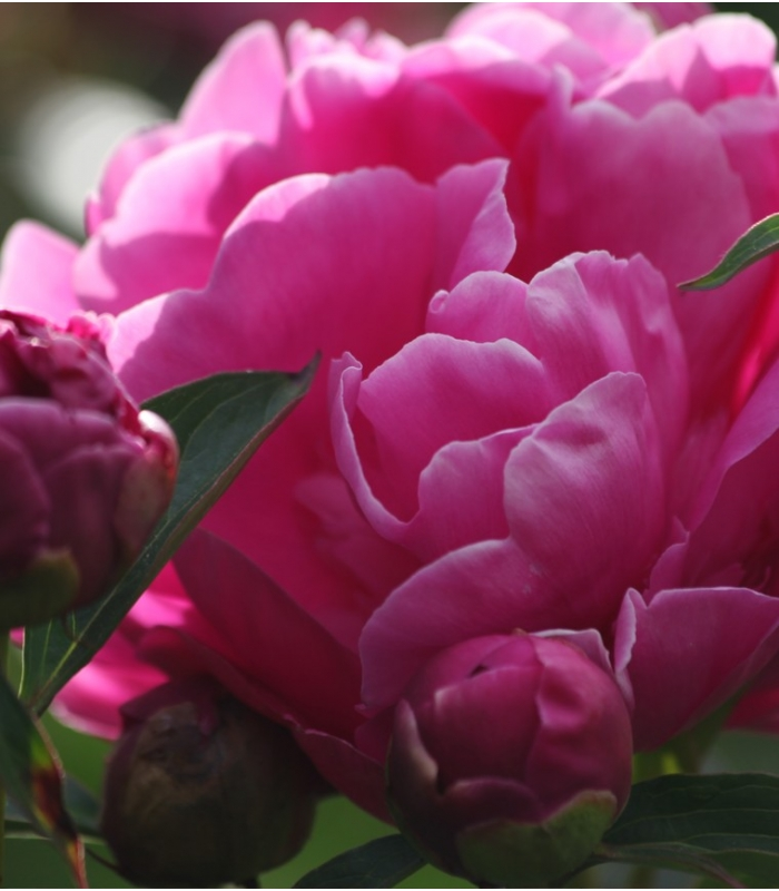 Peonies Bouquet Fresh Cut Delivery Peonies Florist