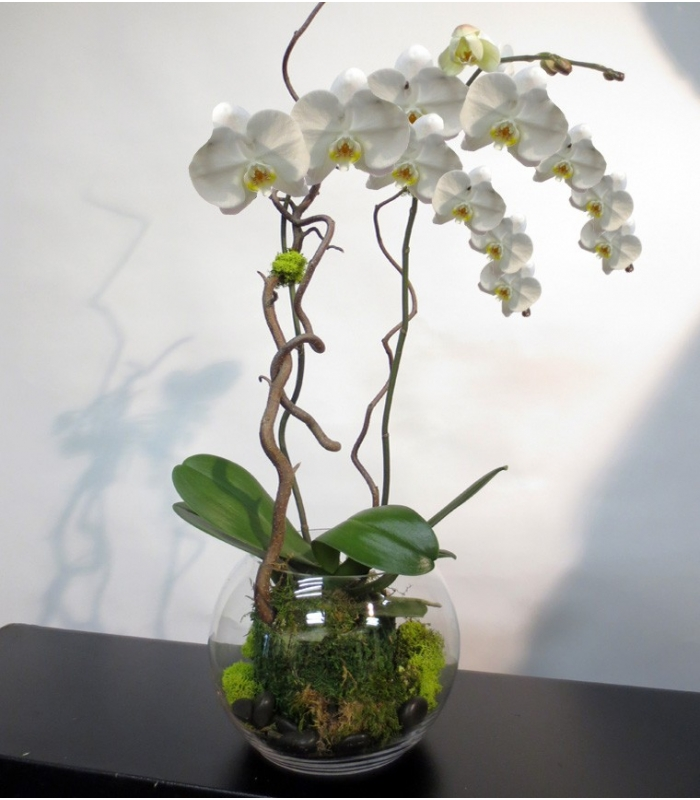 plante orchid e phalaenopsis original. Black Bedroom Furniture Sets. Home Design Ideas