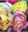PEONIES BOUQUET 50$ to 200$